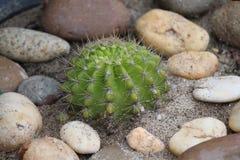 Cactus, comme pour élever l'arbre de jardin Photos stock