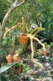 cactus comme une araignée (mamillosa d'Echinopsis) la Floride rentrée Image stock