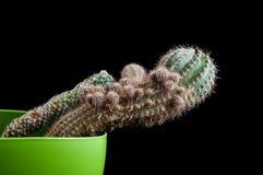 Cactus como tendencia dentro de la oficina y en casa fotografía de archivo