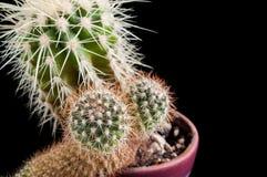 Cactus como tendencia dentro de la oficina y en casa foto de archivo libre de regalías