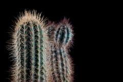 Cactus como tendencia dentro de la oficina y en casa imagen de archivo