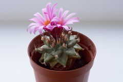 Cactus con due fiori Immagini Stock Libere da Diritti