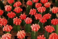Cactus con el brote principal rojo, foco selectivo para el fondo Fotografía de archivo libre de regalías