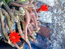 Cactus con i fiori rossi Fotografie Stock Libere da Diritti