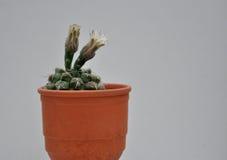 Cactus con i fiori in vaso di argilla Immagine Stock