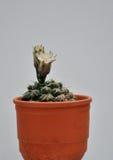 Cactus con i fiori in vaso di argilla Fotografia Stock Libera da Diritti