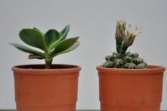 Cactus con i fiori in vaso di argilla Immagine Stock Libera da Diritti