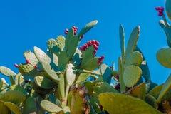 Cactus con i tonni Fotografie Stock