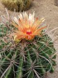 Cactus con il fiore Fotografie Stock