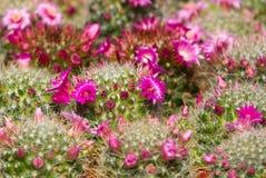 Cactus con il fiore Fotografia Stock