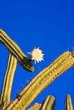 Cactus con il fiore bianco Fotografia Stock