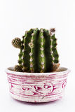 Cactus in un barattolo Immagini Stock