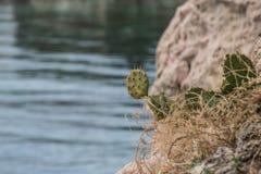 Cactus con il mare nei precedenti Fotografie Stock Libere da Diritti