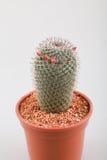Cactus con il vaso Fotografia Stock Libera da Diritti
