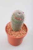 Cactus con il vaso Immagine Stock