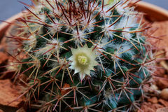 Cactus con la flor y la espina Imagenes de archivo