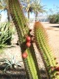 Cactus con la pequeña fruta Fotos de archivo libres de regalías
