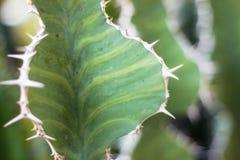 Cactus con la superficie y las espinas Foto de archivo libre de regalías