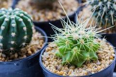 Cactus con las espinas fotografía de archivo libre de regalías