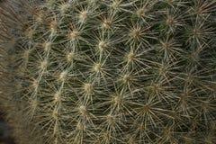 Cactus con las espinas dorsales Imagenes de archivo
