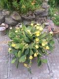 Cactus con las flores amarillas foto de archivo