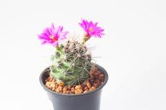 Cactus con las flores rosadas en el fondo blanco Foto de archivo libre de regalías