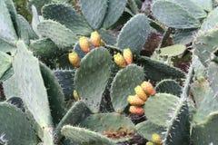 Cactus con las frutas imagen de archivo libre de regalías