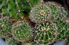 Cactus con le goccioline della pioggia in un vaso fotografia stock libera da diritti