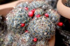 Cactus con le goccioline della pioggia in un vaso immagine stock libera da diritti