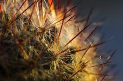 Cactus con le punte rosse Fotografia Stock Libera da Diritti