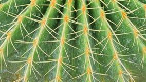 Cactus con le spine dorsali lunghe Fotografia Stock