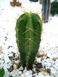Cactus con le spine dorsali lunghe   Fotografie Stock