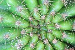 Cactus con le spine lunghe Fotografia Stock Libera da Diritti