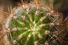 Cactus con le spine Up1 vicino Fotografia Stock