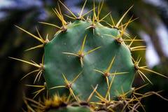 Cactus con marrón de la fruta Imágenes de archivo libres de regalías