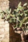 Cactus con marrone della frutta Fotografie Stock