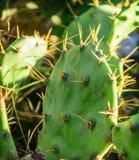 Cactus con marrone della frutta Fotografia Stock