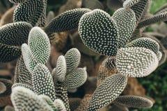 Cactus con vista delantera de los torns blancos imágenes de archivo libres de regalías