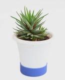 Cactus conservato in vaso Fotografie Stock Libere da Diritti
