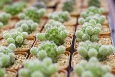 Cactus in conservato in vaso, di mattina Fotografia Stock