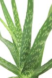 Cactus conservato in vaso su fondo bianco immagine stock