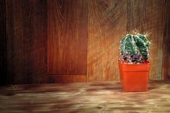 Cactus conservato in vaso su fondo di legno Ornatum naturale di Astrophytum del cactus Piante d'annata di natura morta su struttu Fotografia Stock Libera da Diritti