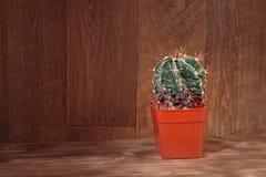 Cactus conservato in vaso su fondo di legno Ornatum naturale di Astrophytum del cactus Piante d'annata di natura morta su struttu Fotografia Stock