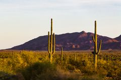Cactus contre des montagnes - Arizona photos libres de droits
