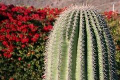 Cactus contre le buisson de floraison rouge Images libres de droits