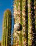 Cactus coperto di spine Fotografie Stock Libere da Diritti