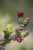 Cactus coperto di spine in fioritura Fotografia Stock