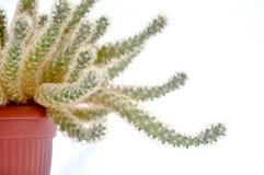 Cactus coperto di spine verde Immagini Stock Libere da Diritti