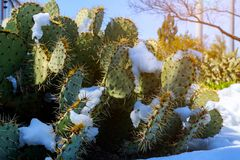 Cactus coperto in neve fotografie stock libere da diritti