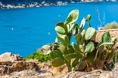 Cactus with the Corsica sea Stock Photography
